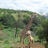Giraffe (Suckling)