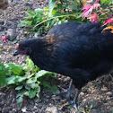 Black Rock Chicken