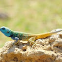 Blue Headed Tree Iguana