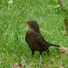 Common Blackbird (female)