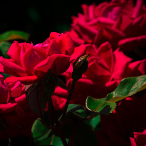 Roses in contrast by Beckie Caughman - Flowers Flower Gardens ( contrast, rose, park, bush, flowers, red, green )