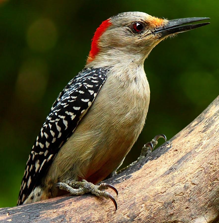 Female Red Bellied Woodpecker by Paul Mays - Animals Birds ( bird, nature, woodpecker, birds, kentucky,  )