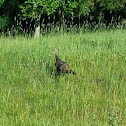 Wild Turkey (hen with poults)
