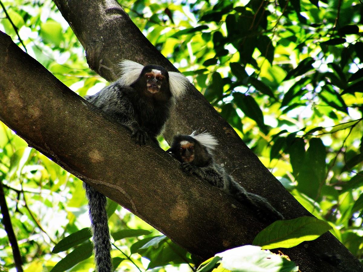 Soim (common marmoset)