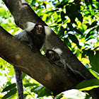 Soim (common marmoset)