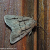 Broad-lined sallow
