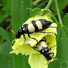 CMR bean beetles