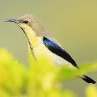 Purple Sunbird (Non Breeding male)