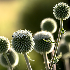 Thistle by Siew Feun Kylemark - Nature Up Close Other plants ( plant, wild, backlit, thistle, nature, weed, thorn, meadow )