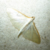 Satin Angel Moth