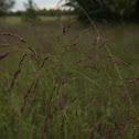 Indian Grass (?)