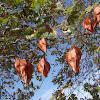 Goldenrain tree (Κοελρετάρια)