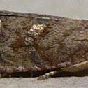 Filbertworm Moth