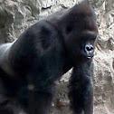Silverback gorilla- male