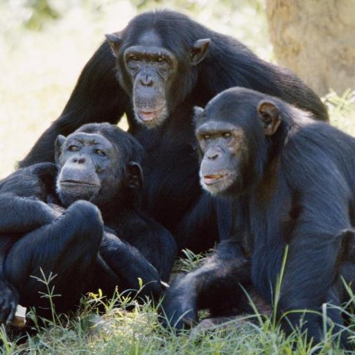 チンパンジーの壁紙 個人化 App LOGO-硬是要APP