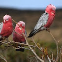 Galah (Rose-breasted Cockatoo)
