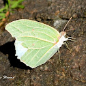 White Angled-Sulphur Butterfly