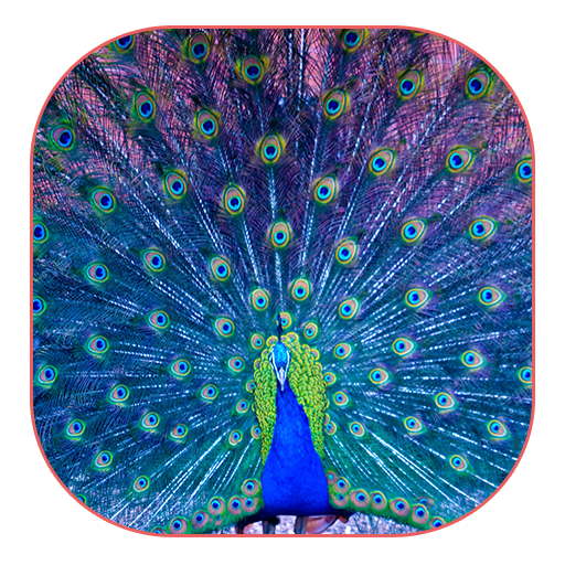 美しい孔雀の壁紙 個人化 App LOGO-硬是要APP