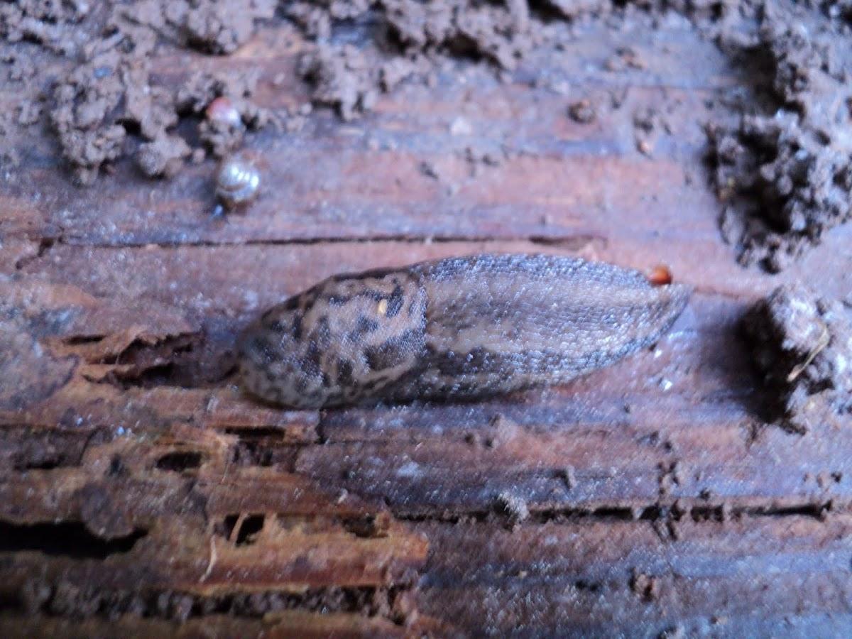 Great grey slug