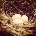 Barn Swallow eggs