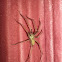 House spider (male)