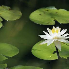 Water lily  by Skye Stevens - Flowers Single Flower (  )