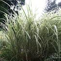 Variegated grass