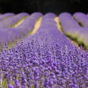 Lavender Field by Augustin Galatanu - Flowers Flowers in the Wild ( field, purple, lavender, rows,  )