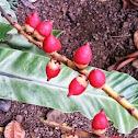 Areca Nut/Betel Nut