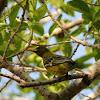 Australasian Yellow Oriole
