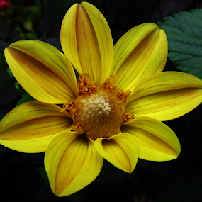 Yellow and Gold by Alan Hammond - Flowers Single Flower ( yellow, single flowers, flowers,  )
