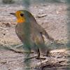 Robin, Petirrojo