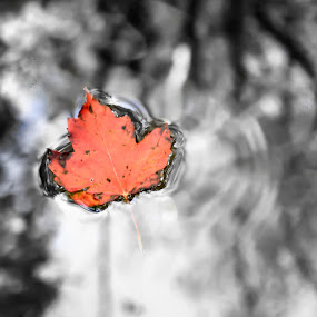 Fallen Leaf by Jonathon Rader - Nature Up Close Leaves & Grasses ( water, fall leaves on ground, fall leaves, selective color, west virginia, fall, leaf )