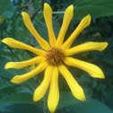 Hairy Sunflower