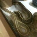 Eastern Garter Snake (Pregnant)