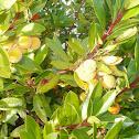 Madroño (Strawberry tree)