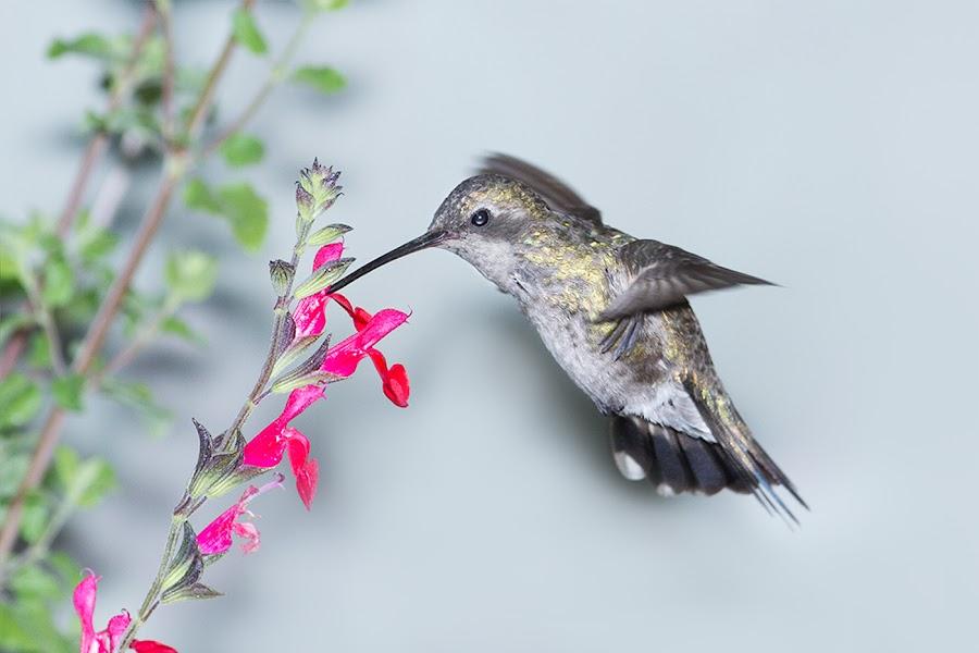 Libando flor de Mirto by Alfonso Emmanuel Galina - Animals Birds ( hummingbird, flower, mirto )