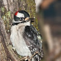 Downy Woodpecker with Frog