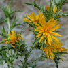 Common Golden Thistle