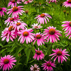 I see Pink Daises by Jeannie Meyer - Flowers Flowers in the Wild ( iowa, purple, daises, daisy, pink, flower, , colorful, mood factory, vibrant, happiness, January, moods, emotions, inspiration )