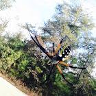 yellow garden spider or corn spider.