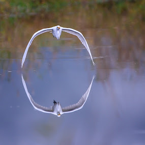 Looking Glass by Gary Davenport - Animals Birds ( water, flying, reflection, great, egret, bird, fly, flight )
