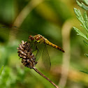 Common Darter Dragonfly (Female)