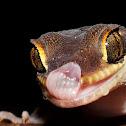 Deccan Banded Gecko