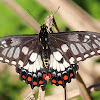 Dingy Swallowtail Butterfly
