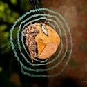 Decorator Silk-orb weaver spider