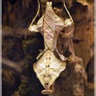 death leaf mantis