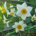 French Daffodil