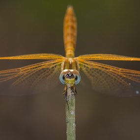 The balance by Prajwal Ullal - Animals Insects & Spiders ( canon 100mm macro, mro, india, rest, dragonfly, canon 550d,  )