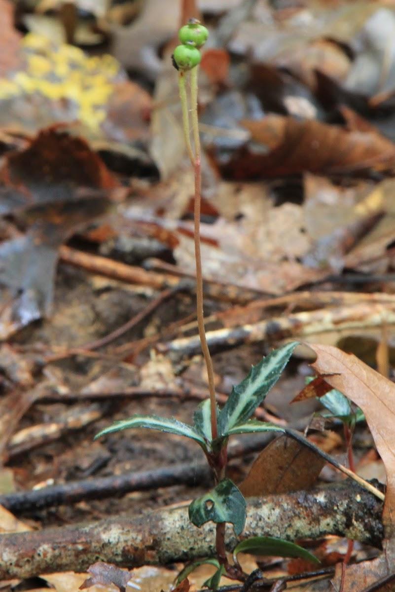 Striped Wintergreen